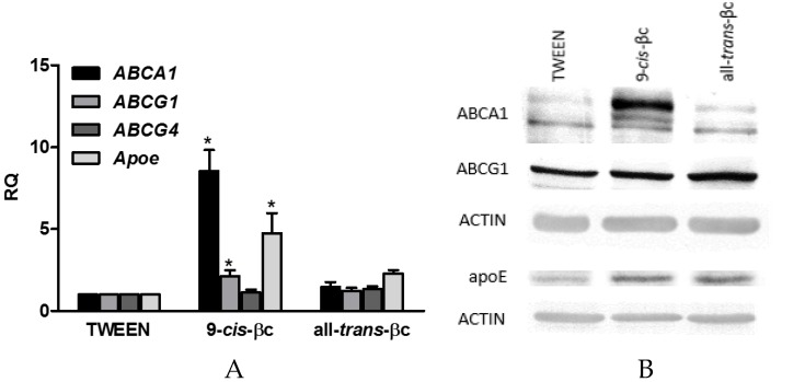9- cis -βc-induced mRNA and protein expression levels of genes involved in cholesterol efflux in macrophages. RAW264.7 macrophage cells were treated for 24 h with vehicle (TWEEN 40), 2 µM of 9- cis -βc or all- trans -βc. ( A ) The expression of ABCA1, ABCG1, ABCG4, and APOE mRNA were measured by quantitate real-time PCR assays (TaqMan) standardized against GAPDH mRNA levels. The results are expressed as mean ± SE. of six independent experiments. * p