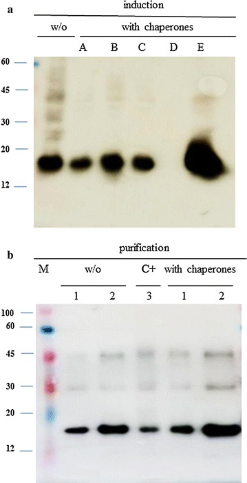 Effects of different chaperones on HPV His 6 -E6 expression levels. Representative immunoblots of induction and purification of HPV16 His 6 -E6 produced in E. coli <t>JM109.</t> a Bacterial transformation with the pQE30-HPV16 His 6 -E6 expression plasmid alone (w/o) or with the different chaperone systems (chaperones A–E, see Table 2 ). Total proteins were extracted by re-suspension in SDS-loading buffer of E. coli cell cultures, according to their OD 600 . b Purification of the HPV16 His 6 -E6 protein without chaperones (w/o) and with the trigger factor chaperone (with chaperones; chaperone E, see Table 2 ). M ColorBurst, Sigma, lanes 1 1 µL, lanes 2 3 µL, lane 3 C + , 20 ng of purified His 6 -E6 protein positive control