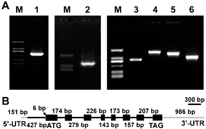 ( A ) Electrophoresis profiles of Δ9 FAD 5′-RACE and 3′-RACE product from Myrmecia incisa . M: D2000 marker; Lane 1: 5′-ends of Δ9 fatty acid desaturase (FAD); Lane 2: 3′-ends of Δ9 FAD; Lanes 3, 4, 5 and 6: the amplification products of Δ9 FAD using DNA as the template; ( B ) Schematic illustration of the gene structure of MiΔ9FAD . Black boxes: extrons; black lines: introns; gray lines: untranslated region (UTR).