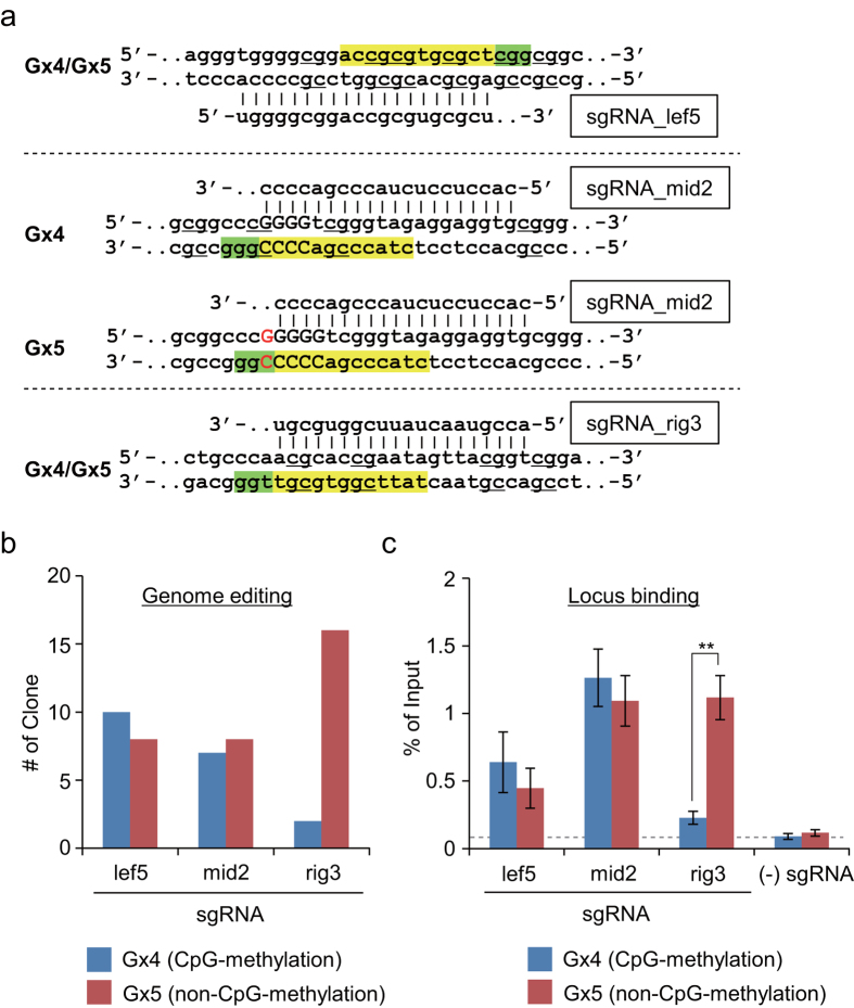 Effects of CpG methylation of target sites on genome editing in vivo . ( a ) DNA sequences targeted by sgRNAs. Seed sequences and PAMs are shown in yellow and green, respectively. The single-guanine insertion in the Gx5 allele is shown in red. CpG sites in the Gx4 allele are underlin ed. ( b ) Evaluation of genome editing. Schemes for genome editing and genotyping PCR are shown in Supplementary Fig. S1 . Products of genotyping PCR were cloned, and 15 (sgRNA_mid2) or 18 (sgRNA_lef5 and sgRNA_rig3) independent clones were subjected to DNA sequencing analysis to identify the targeted alleles. ( c ) Evaluation of locus binding, as determined by DNA yields of enChIP. Error bars represent s.e.m. of three enChIP experiments (**t-test P-value