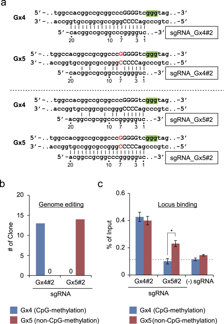 Allele-specific genome editing using an allele-specific single-nucleotide insertion in vivo . ( a ) DNA sequences targeted by sgRNAs. PAMs are shown in green. The inserted single guanine in the Gx5 allele is shown in red. ( b ) Evaluation of genome editing. Schemes for genome editing and genotyping PCR are shown in Supplementary Fig. S8 . Products of genotyping PCR were cloned, and 13 (sgRNA_Gx4#2) or 14 (sgRNA_Gx5#2) independent clones were subjected to DNA sequencing analysis to identify the targeted alleles. ( c ) Evaluation of locus binding, as determined by DNA yields of conventional in vivo enChIP. The error bar represents s.e.m. of three enChIP experiments (*t-test P-value