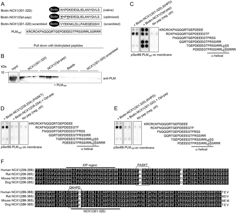 Analyses of the optimized peptide sequence (Opt-pep) ( A ) Schematic illustration of <t>biotin–NCX1(301–320)</t> (native sequence), biotin–NCX1(Opt-pep) (optimized peptide sequence), biotin–NCX1(301–320) scrambled (control sequence) and an untagged PLM cyt peptide used in pull-down assay in ( B ). ( B ) Pull-down assays with biotin–NCX1(301–320) and biotin–NCX1(Opt-pep) against the untagged PLM cyt peptide. PLM binding was analysed by immunoblotting using anti-PLM. A biotin–NCX1(301–320) scrambled peptide and beads were used as negative controls. ( C ) Binding of biotin–NCX1(301–320) and biotin–NCX1(Opt-pep) was identified by overlaying the peptides on membranes containing 20-mer overlapping pSer 68 -PLM peptides, followed by immunoblotting using HRP-conjugated anti-biotin. Binding of ( D ) biotin–NCX1(235–254) and ( E ) biotin–NCX1(301–320) to pSer 68 -PLM with or without a pre-incubation of Opt-pep. Binding was analysed by immunoblotting using HRP-conjugated anti-biotin. Phosphorylated Ser 68 is underlined and the C-terminal α-helical region is indicated in ( C )–( E ). Incubation with only HRP-conjugated anti-biotin (omitting incubation with the peptides) was used as negative control (right-hand panels in C – E ). ( F ) Alignment of human, rat, mouse and dog NCX1 sequence. Position of the XIP region and the native NCX1 sequence (amino acids 301–320) used for optimization are underlined. Black boxes indicate identical amino acids <t>(DNA</t> Star).