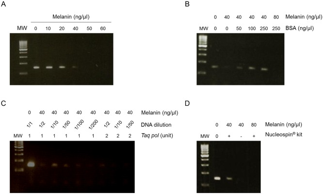 Removal of the inhibitory effects of melanin on PCR amplification. (A) Increasing concentrations of synthetic melanin were added to DNA extracted from 1676 melanoma cell lines. (B) Increasing concentrations of BSA (ng/μl) were added to DNA extracted from cultured cells containing 40 or 80 ng/μl of melanin. (C) The effect of diluting DNA assessed in the presence of 40 ng/μl of melanin and either 1U or 2U of Taq polymerase. (D) NucleoSpin ® gDNA Clean-up XS Kit used on DNA extracted from cultured cells containing 40 or 80 ng/μl of melanin. PCR amplification of the DNA was monitored on 2% gel agarose electrophoresis with ethidium bromide staining. MW, molecular weight markers.