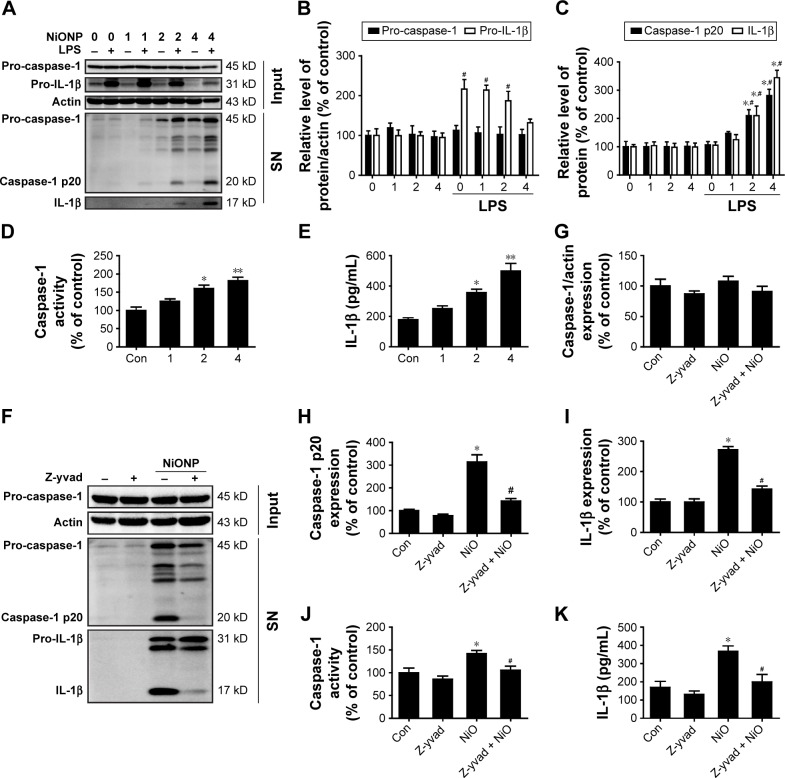 NiONPs induce caspase-1-dependent cytokine secretion in RAW264.7 cells. Notes: ( A – C ) The pro-caspase-1 and pro-IL-1β levels in cell lysates (input) and processed caspase-1 and IL-1β levels in culture SNs after treatment with different doses (0 µg/cm 2 , 1 µg/cm 2 , 2 µg/cm 2 , and 4 µg/cm 2 ) of NiONPs were analyzed by Western blotting. ( D ) Caspase-1 activity in RAW264.7 cells. ( E ) Detection of IL-1β expression in the SN by ELISA. * P