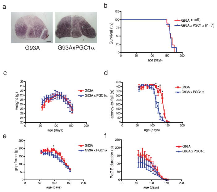 <t>PGC-1α-mediated</t> increase in the muscle oxidative phenotype does not improve survival or motor function in G93A mice G93A mice were mated with <t>MCK-PGC-1α</t> mice to examine the effect of enhanced mitochondrial biogenesis in the muscle on disease progression. (a) Gastrocnemius muscle from G93A/MCK-PGC-1α mouse shows higher SDH staining than S93A mouse demonstrating increased mitochondrial activity in the presence of PGC-1α transgene (scale=500μm). (b) Survival analysis and (c) weekly weight measures (Two-way ANOVA, n=9 G93A; n=7 G93A/MCK-PGC-1α) did not show a genotypic difference between the two groups. (c) Motor function was examined in these mice using the Rotarod apparatus. The difference in the rotarod latency-to-fall values between the two groups were statistically significant (Two-way ANOVA, p