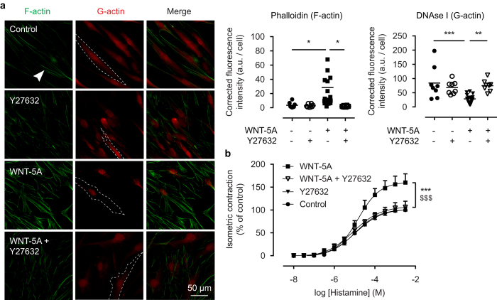 ROCK activation underlies WNT-5A-induced actin polymerisation. ( a ) Representative immunofluorescent images of a Phalloidin (F-actin, green) and DNAse I (G-actin, red) staining of airway smooth muscle cells exposed to WNT-5A (200 ng/mL) for 2 hours in the presence or absence of Y27632 (1.0 μM), and the corresponding quantification. White arrowhead points to filamentous actin. Dashed line represents a single cell boundary. Horizontal line represents the mean. ( b ) Organ-cultured bovine tracheal smooth muscle strips were pre-incubated with WNT-5A (500 ng/mL) and/or Y27632 (1.0 μM) for 48 hours and a cumulative dose-response curve to histamine for the maximum isometric tension was constructed. *vs Control, $ vs WNT-5A + Y27632. Data represents five independent experiments, each performed in duplicate. Data is expressed as the mean ± SEM.