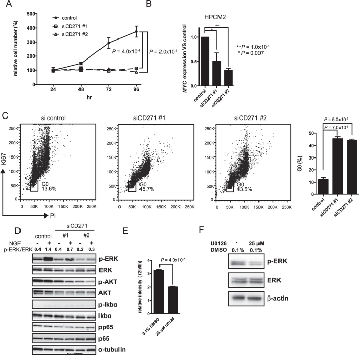 CD271-knockdown in HPCM2 cells reduces in vitro proliferation. ( A ) Proliferation of CD271-knockdown (siCD271#1 and siCD271#2) and control HPCM2 cells was assessed with MTT assays. ( n = 3) ( B ) HPCM2 cells were transfected with the siRNAs, incubated for 48 h, and then MYC expression profiles in CD271-knockdown and control HPCM2 cells were determined by real-time PCR. ( n = 3) ( C ) Cell cycle analysis of CD271-knockdown cells was performed by Ki67 and PI staining. The percentage of cells in G 0 is shown in the graph ( n = 3). ( D ) Western blot analysis of ERK, AKT, Iκbα, and p65 and their phosphorylated forms (p-ERK (Thr202/Tyr204), p-AKT (Ser473), p-Iκbα (Ser32), and pp65 (Ser536)) was performed with HPCM2 cells incubated for 24 h in serum-free medium and then treated with 100 ng/ml NGF for 10 min. p-ERK/ERK, the ratio of p-ERK to total ERK based on band density analysis with ImageJ software. ( E ) HPCM2 proliferation assays after treatment with U0126. The relative intensity values represent the ratio of the MTT absorbance after the cells were incubated for 72 h with U0126 to that measured at 0 h of treatment. ( n = 4) ( F ) ERK phosphorylation was analyzed by Western blotting after 72 hours of U0126 treatment. PI, propidium iodide.
