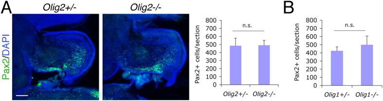 No significant change in Pax2 + interneuron progenitors in the <t>Olig2</t> -null cerebellum. ( A ) Immunnostaining analysis is performed on mid-sagittal cerebellar sections of the E18.5 Olig2 -null mice. The number of Pax2 + cells per cerebellar section is quantified and compared. No significant change in the number of Pax2 + interneuron progenitors is detected between Olig2 -null and control mice (n = 3 for both genotypes). ( B ) Similar immunostaining was also performed and quantified on cerebellar sections of E18.5 Olig1 -null mice. DAPI is used to label nuclei. Scale bar: 200 μm. n.s., not significant by Student's t -test.