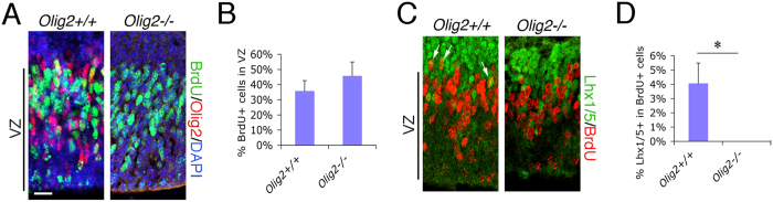 Olig2 -deletion induces impaired PC differentiation from cerebellar VZ progenitors without affecting proliferation. ( A ) Proliferation of cerebellar VZ progenitors at E12.5 is analyzed by their ability to incorporate BrdU in a 2-hour pulse-labeling treatment and compared between Olig2 +/+ and Olig2 −/− mice. ( B ) The percentage of BrdU + cells among total cells (DAPI + ) in the cerebellar VZ (as indicated) is calculated and compared between the two genotypes (n = 3 for both genotypes). ( C ) PC generation from the proliferating cerebellar VZ progenitors at E12.5 is also analyzed by co-staining of the postmitotic neuronal marker Lhx1/5 and BrdU in Olig2 +/+ and Olig2 −/− mice. ( D ) Percentage of Lhx1/5 + cells among BrdU + cells in the dorsal portion of the cerebellar VZ is quantified and compared between the two genotypes (n = 3 for both genotypes). VZ, ventricular zone. Scale bar: 20 μm in A and C . * P