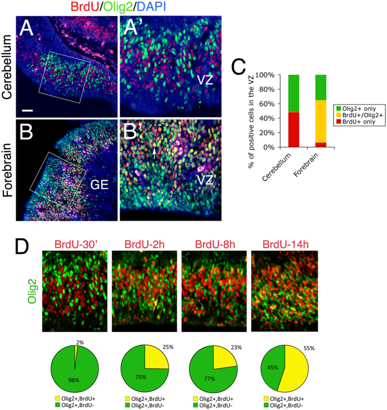 Differential expression patterns of Olig2 in the VZ progenitors relative to cell cycle in the E12.5 cerebellum and forebrain. Co-immunostainings were done on mid-sagittal sections of the cerebellum ( A ) and forebrain ( B ) of E12.5 embryos that have been pulse-labeled with BrdU for 30 min before sacrifice. ( A',B' ) are enlarged images of boxed regions in ( A , B ), respectively. The arrow indicates a double-positive cell in ( B' ). ( C ) Comparison of BrdU labeling in the VZ Olig2 + cells between cerebellum and forebrain. Note that BrdU labels more than 50% of the Olig2 + cells (BrdU + /Olig2 + ) in the GE of the forebrain, but nearly none in the cerebellar VZ. ( D ) A series of BrdU-pulse labeling analyses of E12.5 cerebellar VZ progenitors. Percentages are shown to represent BrdU + and BrdU - fractions among Olig2 + cells in the cerebellar VZ. VZ, ventricular zone; GE, ganglionic eminence.