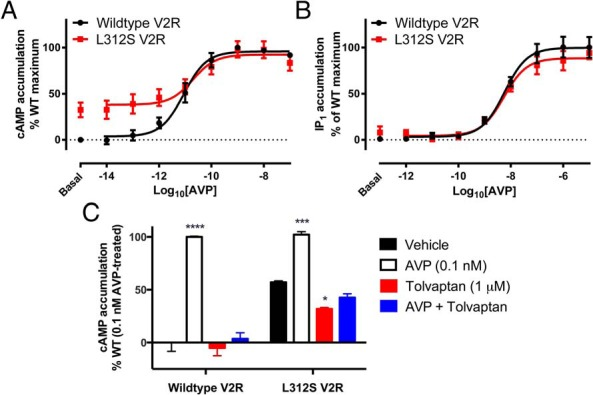 Effect of L312S mutation on AVP mediated G protein signaling. Concentration-response curves to AVP for cAMP (A) and IP 1 (B) accumulation were generated using transiently transfected HEK293FT cells expressing either wild-type (black circles) or L312S (red squares) V2R tagged with Nluc. For cAMP accumulation (A), cells were stimulated with AVP (10fM–0.1μM) or forskolin (100μM) for 30 minutes in buffer containing IBMX (500μM). For IP 1 accumulation (B), cells were stimulated with AVP (1pM–10μM) or carbachol (2mM) for 30 minutes in buffer containing LiCl (50mM). Cells were then lysed, and cAMP or IP 1 accumulation was measured by HTRF. Data shown are normalized to the forskolin or carbachol response for cAMP and IP 1 accumulation respectively and expressed as % of the wild-type V2R maximum response to observe constitutive activity. Points represent mean ± SEM of 4 independent experiments (A) and 6 independent experiments (B), and the curve fit is by nonlinear regression. The effect of 1μM inverse agonist Tolvaptan was also assessed (C) in terms of inhibiting constitutive (black and red bars) or ligand-induced (0.1nM AVP; white and blue bars) cAMP accumulation. Observations were made after 30 minutes in a buffer containing IBMX (500μM), in cells expressing either wild-type or L312S V2R tagged with Nluc. Data are expressed as a percentage of the wild-type response to 0.1nM AVP treatment.