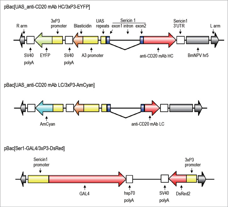 Structures of the plasmids used to generate transgenic silkworms. Each plasmid has right and left arms of piggyBac and the 3 × P3-fluorescent gene cassette for a screening marker (EYFP, AmCyan, or DsRed2). Plasmids pBac[UAS_anti-CD20 mAb HC/3 × P3-EYFP] and pBac[UAS_anti-CD20 mAb LC/3 × P3-AmCyan] encode the anti-CD20 mAb H chain gene and the anti-CD20 mAb L chain gene, respectively, under the control of a UAS promoter, and contain an BmNPV- derived hr5 enhancer and an A3-Blasticidin cassette. The anti-CD20 H and L genes were fused to the signal peptide sequence of the sericin 1 gene encoded by exon 1 and 18 bp of exon 2. The plasmid pBac[Ser1-GAL4/3 × P3-DsRed] encodes the GAL4 gene under the control of the sericin1 promoter.