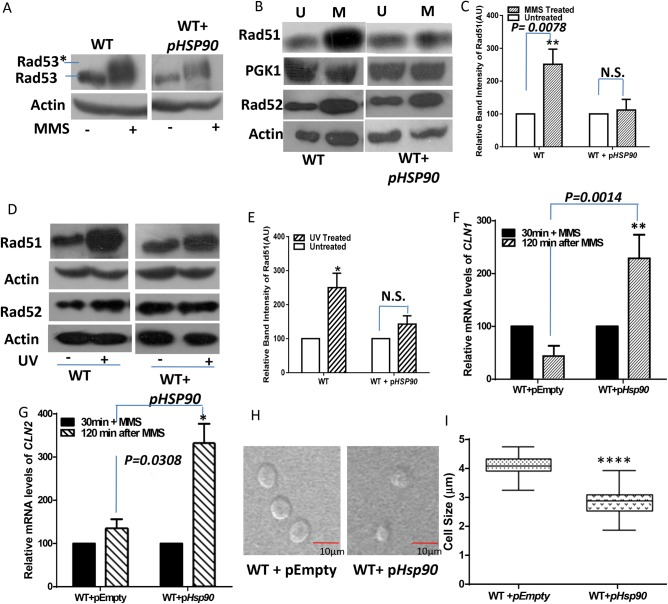 Higher abundance of HSP90 mitigates DNA damage–dependent cell cycle arrest. (A) Western blots showing the status of Rad53p phosphorylation in WT and HSP90 -overexpressing (WT + pHSP90 ) strains upon treatment with DNA-damaging agent. The blot represents the protein isolated from both strains before and after treatment with 0.05% MMS for 2 h. The Rad53-phosphorylated form is marked as Rad53*. Actin acts a loading control. (B) Western blot analysis showed up-regulation of Rad51p in WT, but no such up-regulation was observed in WT + pHSP90 strain upon 0.05% MMS treatment (M); also shown are levels of Rad52p in untreated (U) and 0.15% MMS-treated (M) samples in these strains. PGK1 and actin acts as loading controls for monitoring Rad51p and Rad52p levels, respectively. (C) Quantification of band intensities from three independent experiments displayed 2.5-fold up-regulation for Rad51p in the wild-type condition upon MMS treatment, but no such up-regulation is evident in the HSP90 -overexpressing strain. The band intensities in each lane are normalized against PGK1, and mean densities ± SD are plotted. (D) Western blot analysis showing up-regulation of Rad51p and Rad52p in WT and WT + pHSP90 strains from untreated (–) and treated (+) fractions with 3-kJ/m 2 dose of UV radiation followed by growth for 3 h. Actin acts as loading control. (E) Quantification of band intensity from three independent experiments normalized against actin. Mean densities ± SD reveal minimal up-regulation of Rad51p in the HSP90 -overexpressing strain. (F, G) Real-time RT-PCR shows relative abundance of CLN1 and CLN2 transcripts, respectively, for WT (WT + pEMPTY ) and HSP90 -overexpressing strains. The reaccumulation status of both the transcripts was studied by comparing the mRNA levels from one fraction exposed to 0.2% MMS for 30 min (30 min + MMS) with a fraction in which the cells were allowed to grow for 120 min after MMS treatment in fresh medium. (H) Microscopic images showing the relative cell sizes for WT (WT + pEMPTY ) and HSP90 -overexpressing cells. The experiment was performed twice with > 100 cells. Representative images. (I) Different cell sizes observed for the strains, showing that the average cell size for the HSP90 -overexpressing strain was significantly smaller than that of the wild-type strain. The p value was calculated as