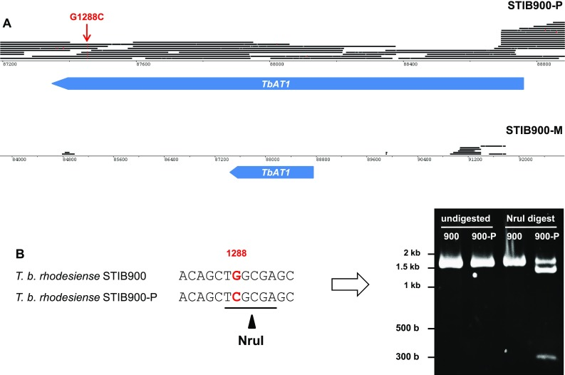 Loss or mutation of AT1 in the resistant lines . a Genomic 454 reads of STIB900-P and STIB900-M mapped to STIB900 visualized for the AT1 locus on chromosome 5 using BamView [ 59 ] (smaller scale for STIB900-M). There is a deletion of AT1 in STIB900-M and a coding point mutation in STIB900-P ( red ). b AT1 <t>PCR</t> products (1636 bp) were amplified from genomic DNA of STIB900 and STIB900-P, and digested with the endonuclease Nru I. G1288C mutant alleles are cut to fragments of 1339 and 257 bp. STIB900-P appears to be heterozygous for the mutation
