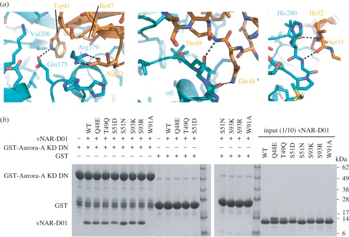 Details of the molecular recognition in the Aurora-A/vNAR-D01 complex. ( a ) Key interactions are shown in the three panels. Aurora-A is coloured teal and vNAR-D01 is coloured orange. ( b ) Co-precipitation assay between GST-Aurora-A KD DN and WT, and mutant vNAR-D01 constructs. GST-Aurora-A KD DN was immobilized on Glutathione Sepharose 4B beads and then incubated with vNAR-D01 proteins. GST was used as a binding control.