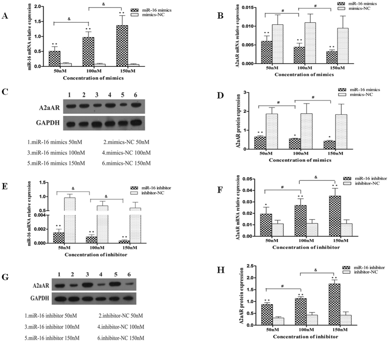 miR-16 regulates the endogenous expression of A2aAR. ( A ) qRT-PCR detected enhanced expression of miR-16 in a dose-dependent manner ( P