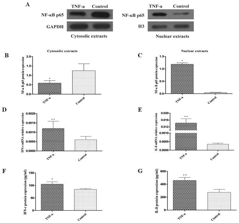 Effect of TNF-α stimulation on NF-κB p65 activation and IFN-γ and IL-8 expression. HT-29 cells were treated with or without TNF-α for 12 h or 24 h. ( A–C ) NF-κB p65 protein in cytosolic and nuclear fraction of these cells were analysed by western blot, and quantified by Quantity One software. ( D,E ) IFN-γ and IL-8 mRNA expression in HT-29 cells detected by qRT-PCR. ( F,G ) ELISA for IFN-γ and IL-8 in supernatants released by these cells. Data are presented as mean ± SD, * P
