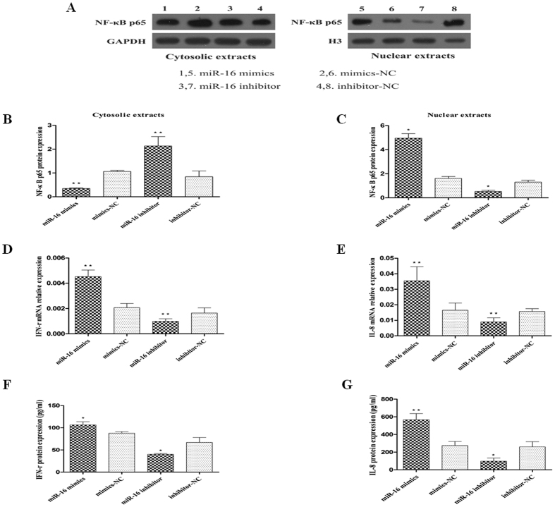Effect of miR-16 on the activation of NF-κB p65 and expression of IFN-γ and IL-8. HT-29 cells were transfected with 150 nM of miR-16 mimics, mimics-NC, miR-16 inhibitor and/or inhibitor-NC, respectively. These cells were then treated with TNF-α. ( A–C ) NF-κB p65 protein in cytosolic and nuclear fraction of these cells as analysed by western blot and quantified. Compared to the corresponding NC control, nuclear translocation of NF-κB p65 protein was enhanced in cells transfected with miR-16 mimics, and decreased in cells transfected with miR-16 inhibitor. ( D,E ) qRT-PCR detecting the expression of IFN-γ and IL-8 mRNAs in these cells. ( F,G ) ELISA for IFN-γ and IL-8 in cell supernatants. Data are presented as mean ± SD, * P