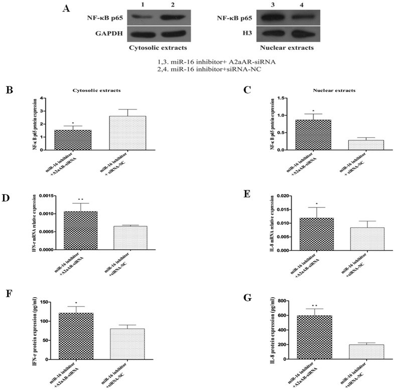 Effect of A2aAR-siRNA on NF-κB p65 activation and IFN-γ and IL-8 expression. HT-29 cells were co-transfected with 150 nM of miR-16 inhibitor and A2aAR-siRNA or siRNA-NC, and stimulated with TNF-α. ( A–C ) Western blot analyses and quantification of NF-κB p65 protein in cytosolic and nuclear fraction of cells. ( B ) Silencing of the A2aAR significantly decreased the NF-κB p65 protein expression in cytosolic extracts, ( C ) and increased the NF-κB p65 protein expression in nuclear extracts. ( D,E ) Expression of IFN-γ and IL-8 mRNAs in these cells as detected by qRT-PCR. ( F,G ) ELISA for IFN-γ and IL-8 present in cell supernatants. Data are presented as mean ± SD, * P