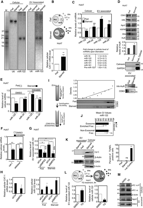 Starvation induces extracellular export of miR‐122 in mammalian hepatic cells Levels of miR‐122 in Huh7 cells and released EVs either untreated (Fed) or subjected to starvation for metabolites including amino acids for 16 h (Starved). miR‐122 signals were detected by Northern blotting and position of the 32 P‐labeled oligos that served as size markers is shown in the M lane (A). U6 snRNA was used as loading control. Cellular CAT‐1 levels were measured by qRT–PCR using GAPDH mRNA as control (B) (mean ± s.e.m., n = 3). A scheme of experiment is shown in the top panel in (B). Cellular and extracellular levels of different miRNAs and EV‐associated proteins in Fed and Starved Huh7 cells. Relative changes in cellular and extracellular levels (EV‐associated) of miR‐122 and miR‐24 in Fed or 8 h Starved Huh7 cells were quantified by qRT–PCR and plotted (mean ± s.e.m., n = 3). Levels of individual miRNAs in Fed condition were taken as unit. Fold change (with SD) in the cellular level of five different miRNAs and pre‐miR‐122 measured is shown in the bottom panel (C). Cellular miRNA levels were normalized against U6 snRNA. Western blot analysis of different exosomal proteins and Ago2 in EVs isolated under Fed or Starved conditions. CD63 is an exosomal marker protein and levels of HuR in EVs were quantified against respective CD63 levels. Mean of three independent measurements is plotted (middle panel in D). Calnexin and GAPDH are not detected in EVs but visible in the cellular extract. EV‐associated HA‐HuR levels for Fed and Starved Huh7 cells expressing HA‐HuR were also detected in the bottom panel in (D). Effect of GW4869 treatment on cellular miRNA content in Fed and Starved cells. Levels of miRNAs were measured by real‐time quantification and normalized against U6 snRNA. Mean data are from three independent experiments. DMSO treatment was used as control for GW4869‐treated cells (mean ± s.e.m., n = 3). CAT‐1 and aldolase mRNA expression in DMSO‐ or GW4869‐treated Starved Huh7 cells. qRT–PCR technique was adopted for quantification using GAPDH mRNA values for normalization (mean ± s.e.m., n = 3). Effect of siSMPD2 treatment on miR‐122 content of EVs from Fed and Starved Huh7 cells. EVs from Fed and Starved Huh7 cells, depleted for SMPD2, were isolated, and miR‐122 content was measured by qRT–PCR and normalized against protein content of EVs. Percent change in EV‐associated miR‐122 levels upon starvation both for control and for siSMPD2‐treated cells is shown above the respective bars (mean ± s.e.m., n = 4). Effect of siSMPD2 treatment on CAT‐1 mRNA content (left panel) and miR‐122 levels (right panel) in Huh7 cells. RNAs from Fed and Starved Huh7 cells, depleted for SMPD2, were isolated and miR‐122 and CAT‐1 mRNA contents were measured by qRT–PCR. miR‐122 contents were normalized against U6 snRNA. GAPDH mRNA was used for normalization of CAT‐1 mRNA levels (mean ± s.e.m., n = 3). miR‐122 levels for siCon‐treated cells (Fed and Starved) were considered as units. A schematic representation of the experiment to separate extracellular vesicles (EVs) on OptiPrep TM density gradient (left panel). Densities of fractions 1–10 are plotted and a best‐fit curve is drawn (I; right upper panel). CD63 levels in individual fractions of Fed and Starved cells were detected by Western blots to confirm the presence of exosomes of Fed and Starved cells (I; right lower panel). Mean C t values of miR‐122 in RNAs isolated from exosome‐enriched (8–9) vs non‐exosomal (1–3) fractions were analyzed and plotted (J) (mean ± s.e.m., n = 3). Effect of starvation on apoptotic cell numbers of Huh7 cells. Western blot detection of apoptosis marker cytochrome c in cellular and in EV‐associated fractions of Fed and Starved Huh7 cells. β‐Actin and CD63 were used as loading controls for cellular and EV‐associated fractions, respectively (left panel). TUNEL‐positive cells in Fed and Starved Huh7 cells. TUNEL assays of Fed and Starved Huh7 cells were performed, and TUNEL‐positive cells were quantified (mean ± s.e.m., n = 60). Fed, but DNase‐treated, cells were used as positive control (+ve control) (right panel). Effect of thapsigargin (TG) treatment of Huh7 cells on cellular and EV‐associated miR‐122 levels. A schematic representation of the experiment (upper panel). miR‐122 levels were measured by qRT–PCR in total cellular RNA and in EVs released by the TG treated cells. Values were normalized either against U6 snRNA or protein content of EVs (mean ± s.e.m., n = 3) (lower panels) for cellular and EV‐associated RNA, respectively. Effect of TG on cellular level of eIF2‐α and its phosphorylated form, Ago2 and CD63 in EVs. β‐Actin was used as loading control for cellular samples. Data information: For statistical analysis, all experiments were done minimum three times and P ‐values were calculated. ns: non‐significant, * P