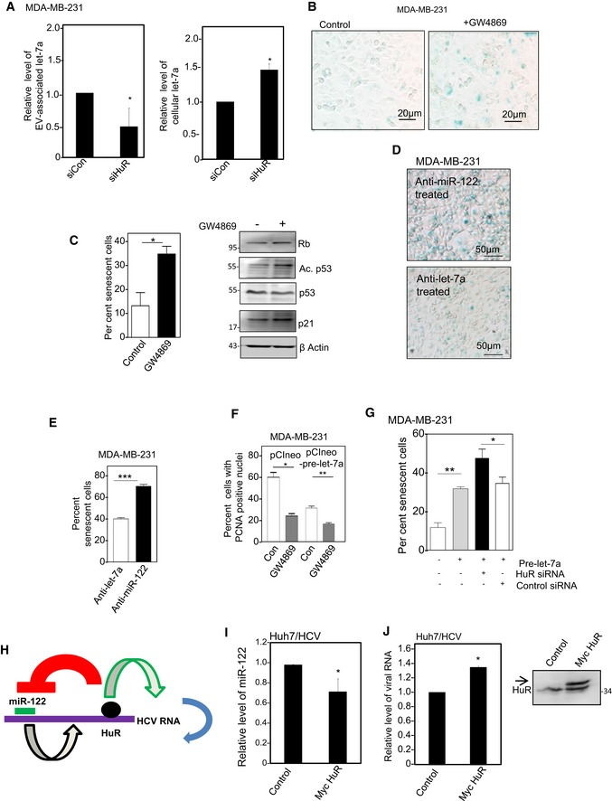 HuR‐driven EV‐mediated export of mi <t>RNA</t> let‐7a in MDA ‐ MB ‐231 cells controls cell proliferation and senescence Effect of siRNA‐mediated HuR depletion on cellular and EV‐associated let‐7a level. Control siRNA (SiCon)‐treated cells were used as reference. miRNA levels were analyzed by qRT–PCR (mean ± s.e.m., n = 5). U6 snRNA levels were used for normalization of cellular miRNA content. Effect of GW4869 treatment on senescence status of MDA‐MB‐231 cells. Representative pictures of senescence status of MDA‐MB‐231 are shown in (B), while the quantification (left panel) and expression status of few senescence‐related proteins (right panel) are shown in (C) (mean ± s.e.m., n = 3). Effect of inactivation of let‐7a on senescence status of MDA‐MB‐231. Growth‐retarded MDA‐MB‐231 cells were treated with either anti‐let‐7a or anti‐miR‐122 oligonucleotides (control) and senescence status was measured (mean ± s.e.m., n = 5). Effect of let‐7a expression on proliferation status of MDA‐MB‐231 cells treated or untreated with exosomal export blocker GW4869. Nuclei were stained for PCNA and percentage of cells with PCNA‐positive nuclei were calculated and plotted (mean ± s.e.m., n = 3). Effect of HuR depletion on the let‐7a‐induced senescence. Senescence levels of siControl‐ or siHuR‐treated MDA‐MB‐231 cells pre‐transfected with pre‐let‐7a RNA were measured and plotted (mean ± s.e.m., n = 3). Effect of Myc‐HuR expression on the <t>HCV</t> replicon RNA level and cellular miR‐122 content in Huh7 cells. A possible model of HCV replication regulation by miR‐122 and HuR (H). Relative change in expression level of miR‐122 (I) and HCV replicon RNA (J) upon co‐transfection with Myc‐HuR. The expression of Myc‐HuR was confirmed by Western blot for HuR in (J) and marked by arrow. Data information: Positions of size markers in protein gels used for respective Western blot analysis are shown against each panel. * P