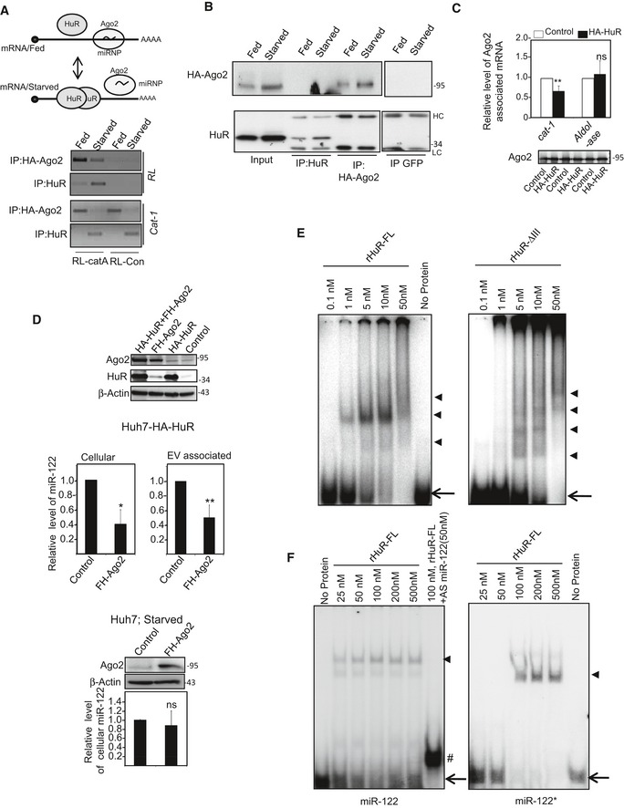 HuR binding replaces Ago2 from target mRNA s miRNP and HuR binding to common target message is mutually exclusive. Association of CAT‐1 and a miR‐122 reporter RL‐catA mRNAs with HuR and HA‐Ago2 in control (Fed) and Starved (Starved) Huh7 cells expressing HA‐Ago2 along with RL‐catA (having both HuR and miR‐122‐binding sites) or RL‐con reporters (without miR‐122 and HuR‐binding sites). A scheme of the experiment is shown in the upper panel. HA‐Ago2 and HuR were immunoprecipitated with anti‐HA or anti‐HuR‐specific antibodies, respectively, from both Fed and Starved cell lysates, and associated mRNAs were detected by semi‐quantitative RT–PCR (lower panel). The Western blot data are shown in (B). Anti‐GFP antibody was used as control in immunoprecipitation. Association of CAT‐1, aldolase, and GAPDH mRNAs with Ago2 in Huh7 cells co‐expressing either control or HA‐HuR‐encoding plasmid along with FH‐Ago2‐encoding plasmid. Real‐time estimation of Ago2‐associated mRNA was normalized against immunopurified FH‐Ago2 level, and estimation was done from three independent sets (mean ± s.e.m., n = 3). Effect of FH‐Ago2 expression on cellular and exosomal miR‐122 levels in HA‐HuR‐expressing Huh7 cells (middle panels) (mean ± s.e.m., n = 3). The expression levels of Ago2 and HuR in cells transfected with HA‐HuR and FH‐Ago2 expression plasmids are shown in the upper panel. Effect of Ago2 expression on cellular miR‐122 levels in Starved Huh7 cells (lower panel). Ago2 expression levels were detected by Western blot. RNA gel shift assay done with 32 P‐end labeled TNF‐α AU‐rich sequence containing HuR‐binding substrate and recombinant full‐length or the truncated version HuR‐ΔIII. The position of gel shifted bands after forming the complexes are marked by arrowheads. Positions of the free probe are marked by arrows. RNA gel shift assay done with 10 nM of 32 P‐end labeled miR‐122 and miR‐122* RNA and with increasing concentrations of recombinant full‐length HuR. The position of gel shifted bands after forming complexes is marked by arrowheads. Positions of the free probes are marked by arrows. The 32 P‐end labeled miR‐122 and miR‐122* hybrid is marked by #. Data information: Positions of size markers in protein gels used for respective Western blot analysis are shown against each panel. ns: non‐significant, * P