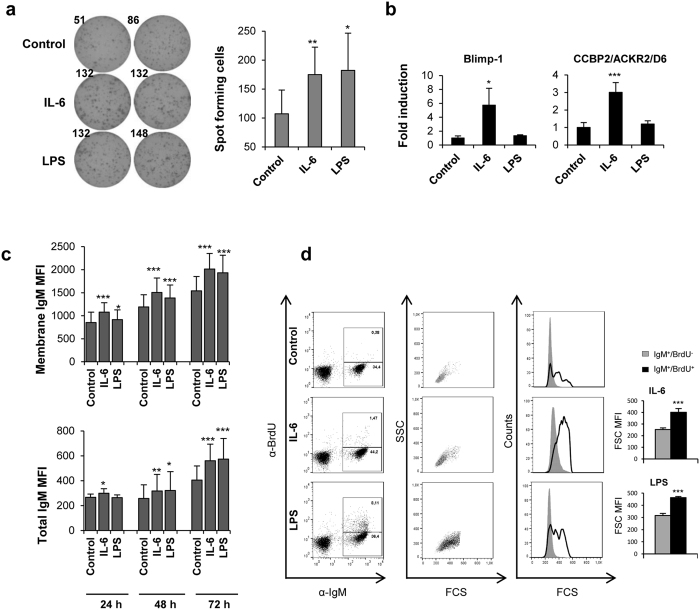 IL-6 and LPS activate IgM secretion in naïve B cells. ( a ) ELISPOT analysis of IgM-secreting cells in splenocyte cultures treated with IL-6 (200 ng/ml), LPS (100 μg/ml) or non-stimulated. Splenocytes were cultured for 3 days in ELISPOT plates previously coated with anti-trout IgM mAb (2 μg/ml) in the presence or absence of the different stimuli. After incubation, cells were washed away and a biotinylated anti-trout IgM mAb (1 μg/ml) was used to detect numbers of spot forming cells. Duplicates from a representative experiment (left) and quantification of spot forming cells (right) from 5 independent experiments are shown (mean + standard deviation). ( b ) Spleen leukocytes were incubated with media containing IL-6, LPS or control media alone for 24 h at 20 °C. After that time, IgM + B cells were sorted using an anti-trout IgM mAb and RNA was extracted. Relative transcript expression of Blimp-1 and ACKR2 is shown (mean + standard deviation, n = 6). ( c ) Membrane IgM and total IgM expression of IgM + cells after incubation with IL-6, LPS or control media for 24, 48 and 72 h. Mean fluorescence intensity (MFI) + standard deviation is shown (n = 9). ( d ) Dot plots and histograms showing the Forward scatter (FSC) from IgM + B cells and BrdU + /IgM + B cells incubated in the presence or absence of LPS or IL-6, from one representative experiment. Graphs showing FSC MFI values from 8 independent experiments (mean + standard deviation) are included next to the histograms for stimulated cultures. * P