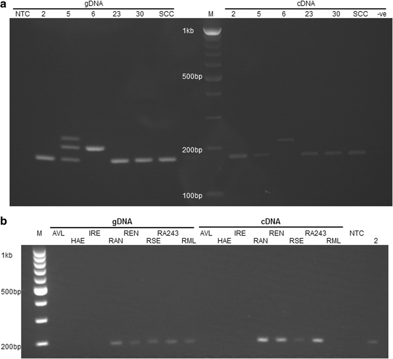 βAOR PCR in Rhipicephalus cell lines. a Detection of βAOR in genomic DNA (gDNA) and complementary DNA (cDNA) of Rhipicephalus microplus cell lines. The expected amplicon of 183 bp was detected in gDNA and cDNA of cell lines BME/CTVM2 (2), BME/CTVM5 (5), BME/CTVM23 (23), BME/CTVM30 (30) and BmVIII-SCC (SCC). BME/CTVM6 (6) gave an alternative amplicon of ~220 bp from both gDNA and cDNA. Additional amplicons of ~245 bp and ~220 bp were also detected in gDNA of BME/CTVM5. b Detection of βAOR in gDNA and cDNA of other tick cell lines. The expected amplicon was detected in gDNA and cDNA of cell lines RAN/CTVM3 (RAN), REN/CTVM32 (REN), RSE/PILS35 (RSE) and RA243, and only in gDNA of RML-RSE (RML). No βAOR gene or transcript was detected in cell lines AVL/CTVM13 (AVL), HAE/CTVM9 (HAE) or IRE/CTVM19 (IRE). Abbreviations : M, Marker; NTC, Non-template control; −ve, reverse transcription negative control