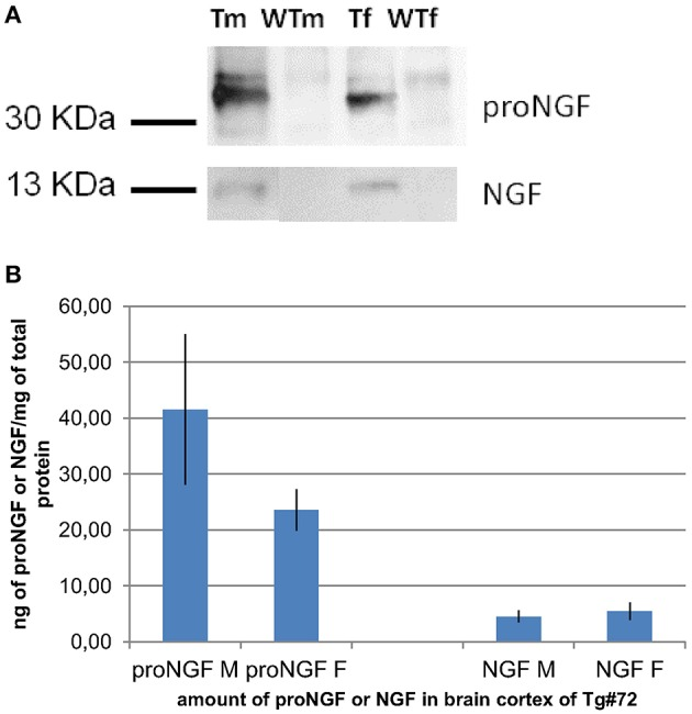IP and WB of transgenic and wild-type mice. (A): IP and WB of cortex extracts from male (M) and female (F) TgProNGF#72 and wild-type (WT) mice. IP on extracts from cortex (CTX) with anti-NGF αD11 antibody, followed by WB with anti-NGF or anti-proNGF antibody, as described in Tiveron et al. ( 2013 ). A representative WB probed with anti-proNGF (PAb Alomone), (top) or anti-NGF M20 (Santa Cruz) (bottom) is shown. TgproNGF#72 and wild type mice, male and female, were analyzed. (B) Quantitative analysis of proNGF and mature NGF in the CTX of TgproNGF#72 mice, male and female, by IP and WB and densitometric analysis. After anti-NGF IP, the proNGF bands, (in WB probed with anti-proNGF), and the NGF bands, (in the WB probed with anti-NGF antibody), both identified also by Mass Spectrometry, were quantified. The resulting intensities were normalized against the area of the bands, and then compared with an internal standard of recombinant proNGF and NGF. Loaded samples were in the linear range of detection. Comparison between proNGF and NGF amounts in TgproNGF#72, male and female, is reported in the histogram. The experiment was carried out in triplicate.
