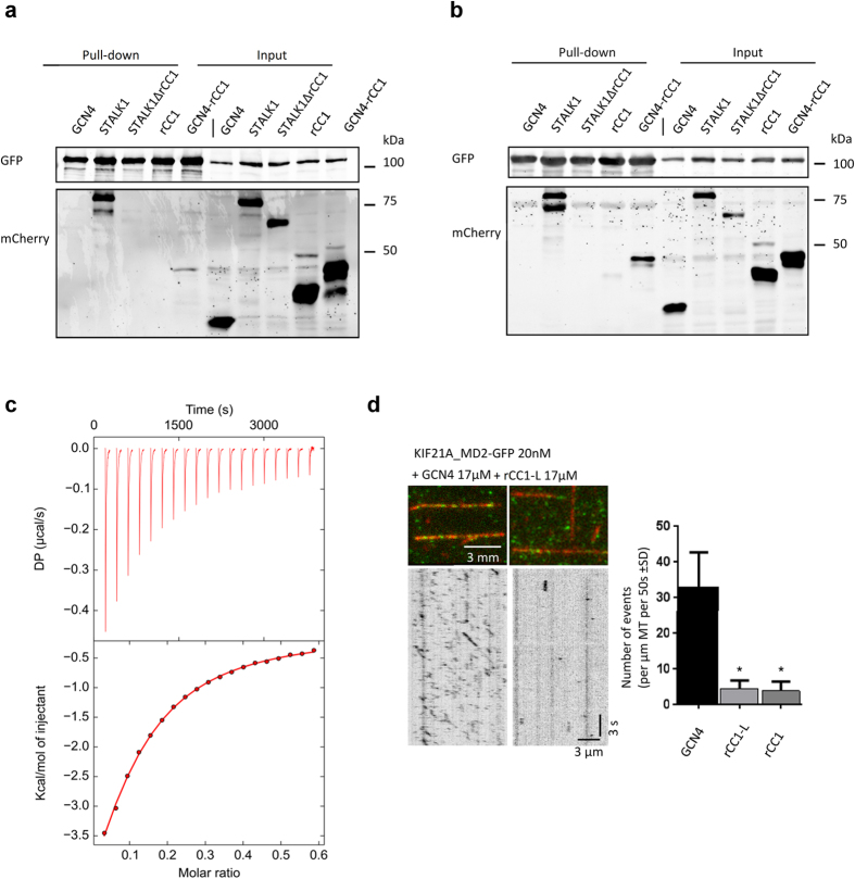 The regulatory antiparallel coiled coil binds to the KIF21A and KIF21B motor domains and is sufficient for KIF21A autoinhibition. ( a,b ) Streptavidin-based pull-down assay with lysates of HEK293T cells expressing the indicated proteins. Bio-GFP-tagged KIF21A_MD2 ( a ) and Bio-GFP-tagged KIF21B_MD1 ( b ) were used as baits. Coiled-coil polypeptide chain fragments are mCherry-tagged. ( c ) Binding affinity determined by ITC. rCC1 at a protein concentration of 900 μM was titrated into 48 μM solution of KIF21B_MD in 20 mM TrisHCl pH 7.5, 150 mM NaCl and 2 mM DTT and heat was measured at 10 °C. The ITC thermograph and fitted binding isotherm are shown in the upper and lower panel, respectively. ( d ) In vitro kinesin motility assay. Purified KIF21A MD2-GFP was added to taxol-stabilized MTs in flow chambers and analyzed for MT association in the presence of GCN4, rCC1 or rCC1-L. Both short MT binding and motile events were counted. Two independent measurements were analysed for rCC1, while 3 measurements were included for GCN4 and rCC1-L. (*P