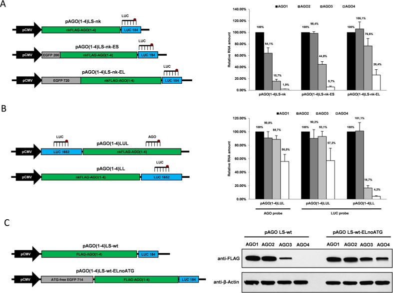 The distance of AGO3 and AGO4 coding sequences to the CMV promoter is critical for their expression in human cells. ( A ) ( Left ): Structure of pAGO(1–4)LS-nk, pAGO(1–4)LS-nk-ES and pAGO(1–4)LS-nk-EL used for transient overexpression of AGO coding regions containing either short 200 bp or full-length 720 bp EGFP gene (without the initiating ATG codon) respectively upstream. ( Right ): TaqMan qRT-PCR analysis of recombinant mRNAs generated from these plasmids in U2OS cells 24 h after transfection. ( B ) ( Left ): Structure of pAGO(1–4)LUL containing full-length 1652 bp luciferase gene (without the initiating ATG codon) upstream the AGO coding sequences, and pAGO(1–4)LL plasmids containing the same 1652 bp luciferase gene fragment downstream the AGO coding sequences. ( Right ): TaqMan qRT-PCR analysis of recombinant mRNAs generated from these plasmids in U2OS cells 24 h after transfection. The location of luciferase (LUC) and Argonaute-specific (AGO) TaqMan qPCR assays used is indicated on the corresponding plasmid map. All qPCR data is presented as mRNA levels relative to cells transfected with AGO1 encoding plasmids, and normalized on the NeoR mRNA levels for each transfection. Each bar represents mean + S.D of three independent transfections. ( C ) ( Left ): Structure of the parental pAGO(1–4)LS-wt and the derivative pAGO(1–4)LS-wt-ELnoATG construct containing the 714 bp EGFP cDNA deprived from all ATG codons upstream the AGO coding regions. ( Right ): Western immunoblot performed with anti-FLAG and anti-β-actin antibody showing FLAG-AGO1, FLAG-AGO2, FLAG-AGO3, FLAG-AGO4 and actin proteins expression in U2OS cells 24 h after transfection with pAGO(1–4)LS-wt and pAGO(1–4)LS-wt-ELnoATG.