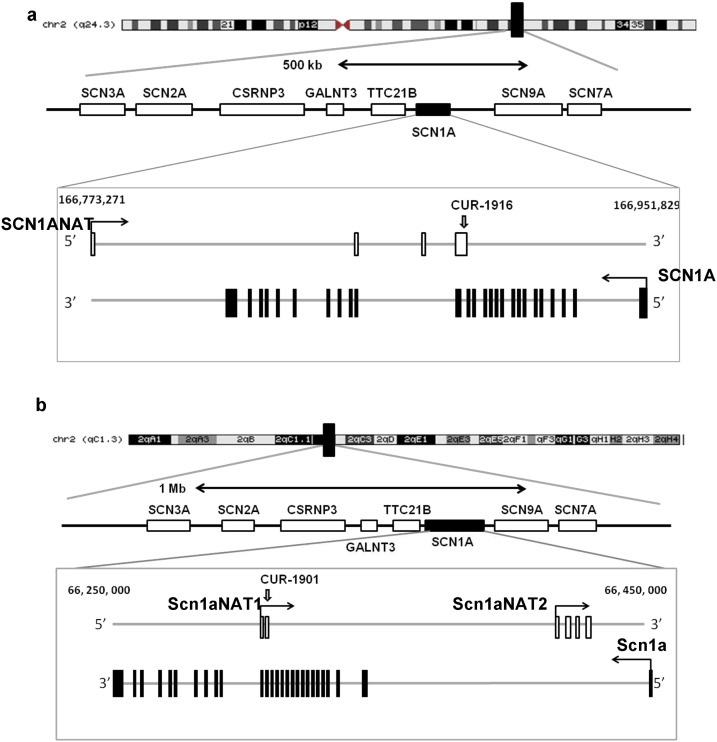 SCN1A and SCN1ANAT coding regions are localized on opposite chromosomal strands in human and mouse genomes. (a) Human chromosome 2. (b) Mouse chromosome 2. In the insets: empty boxes — SCN1ANAT exons; filled boxes — SCN1A exons; grey lines — complementary chromosomal strands; angled arrows — direction of transcription; CUR-1916, CUR-1901 — positions of sequences complementary to respective AntagoNATs.