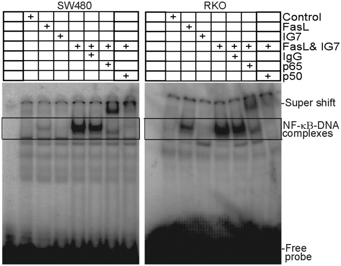 FasL induces NF-κB activation and ceramide analog increases FasL-induced NF-κB activation. SW480 and RKO cells were treated with FasL (50 ng/ml), IG7 (10 μM), or FasL and IG7 for 1h and nuclear extracts were prepared from the tumor cells and analyzed for canonical NF-κB activity using EMSA with NF-κB consensus sequence-containing DNA probe as described in the materials and methods. Anti-p65 and anti-p50 antibodies were used to identify the canonical NF-κB-DNA complexes. The DNA-NF-κB complexes are indicated at the right.