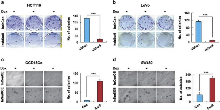 Effect of Sur8 knockdown or overexpression on the transforming potential of CRC cells. ( a , b ) Stable HCT116 or LoVo cells infected with either InshCon or InshSur8 lentivirus were seeded in six-well plates and treated with fresh Dox every 24 h for 14 days to induce Sur8 knockdown. Foci were stained with crystal violet, and images were captured. ( c , d ) Stable CCD18Co and SW480 cells infected with either InConOE or InSur8OE lentivirus were seeded in 24-well plates for performing the anchorage-independent soft agar assay. Cells were treated with fresh Dox every 24 h to induce Sur8 overexpression, and images of the colonies were captured after 3 weeks. The data shown are the mean±s.d. of three independent experiments. *** P