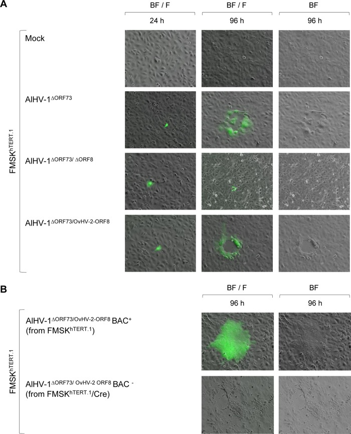 Plaque formation and viral replication in cell culture. (A) Representative fluorescence microscopy images of FMSK hTERT.1 cells transfected with AlHV-1 BAC DNA from different constructs at 24 and 96 h posttransfection. Nontransfected cells (mock) were used as a control. Virus spreading and cytopathic effect are indicated by the formation of plaques. Green fluorescence indicates expression of green fluorescent protein encoded by the BAC cassette. BF, bright field; F, fluorescence with a fluorescein isothiocyanate (FITC) filter. Magnification, ×10. (B) Representative images of FMSK hTERT.1 cells infected with AlHV-1 ΔORF73/OvHV-2-ORF8 reconstituted from FMSK hTERT.1 (BAC + , BAC cassette intact) or FMSK hTERT.1 /Cre cells (BAC − , BAC cassette excised) at 96 h postinfection.