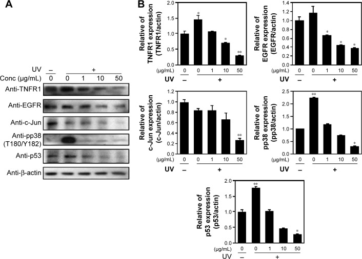 PPF extract inhibition of ROS production in UV-irradiated cells. Notes: ( A ) NHDF cells were exposed to UV irradiation at 40 J for 180 seconds and treated with PPF for 24 hours. Cell lysates were analyzed by immunoblotting using anti-TNFR6, anti-c-Jun, anti-c-Fos, anti-pp38, or anti-p-JNK antibodies. Results are representative of three independent experiments. ( B ) Total and tyrosine-phosphorylated p38, JUK, actin, and TNFR6 in the immunoprecipitates were quantified by Western analyses. Bar heights are mean ± SD of three independent experiments. * P