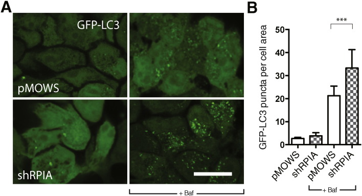 GFP-LC3 puncta are increased upon knockdown of RPIA. A) GFP-LC3 puncta in stably expressing GFP-LC3 cells, transfected with control (pMOWS) and pMOWS-shRPIA, imaged after 96 h knockdown. Cells were treated 1% DMSO or with 10 nM bafilomycin A (baf) in EBSS medium for two hours. Images were acquired on an inverted confocal Leica SPE microscope with a 63 × objective, scale bar = 10 μm. B) Puncta were identified and analyzed using Fiji image analysis software. Data represent mean ± SD of 1000–3000 cells from 2 independent experiments. ***p