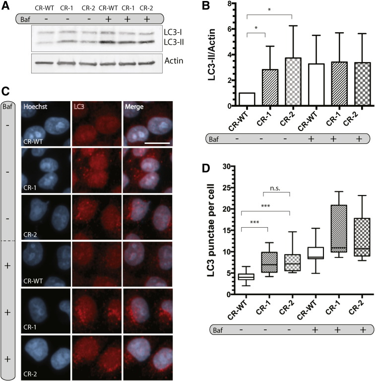 LC3-II levels and LC3 puncta are increased in CRISPR cell lines. A) Immunoblot of LC3-processing in control cells (CR-WT), CR-1 and CR-2, treated with 10 nM bafilomycin A (baf) for 2 h. B) Densitometry analysis of relative LC-II/Actin levels using Fiji. Data show the mean ± SD, n = 5. *, p