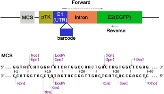 Diagram showing the modified pTK‐EGFP vector. DNA barcodes (16 bp) are inserted at the 3′ end of the first exon (E1), separated by an intron from the EGFP coding sequence in exon 2 (E2). The forward primers for RT‐PCR span the first and second exon consisting of the 16‐bp barcodes and 4 bp of the 5′ end of E2. The common reverse primer is located within the EGFP coding sequence. The modified multiple cloning site contains two extra unique restriction sites, EcoRV and SpeI , and two XcmI sites, which produce a 3′ T overhang after XcmI digestion.