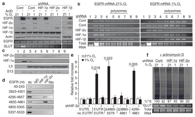 HIF-2α activates EGFR mRNA translation by interacting with its 3′UTR a–b , Western blot and polysomal distribution of EGFR protein and mRNA in HIF-2α, HIF-1α or HIF-1β knockdown cells in the presence of actinomycin D. c , Polysomal distribution of HIF-2α and HIF-1α in hypoxia. d , RNA immunoprecipitation of HIF-1α and HIF-2α. IN, input; RN, RNase-treated. e , Dual luciferase assays in cells transfected with EGFR 3′UTR reporter constructs. Significance of fold change (Student's t test) is shown. Columns, mean (n = 3); error bars, s.e.m. f , Global translation rates of transcription-incompetent cells expressing shRNA targeting HIF-2α or HIF-1α. Experiments performed in U87MG glioblastoma.