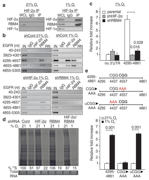RBM4 recruits HIF-2α to the 3′UTR for hypoxic translation a , Co-immunoprecipitation of HIF-2α in normoxia and hypoxia. WCL, whole cell lysate. b , RNA immunoprecipitation of HIF-2α and RBM4 in HIF-2α or RBM4 knockdown cells. IN, input; RN, RNase-treated. c , Effect of silencing HIF-2α or RBM4 on the hypoxic expression of a luciferase reporter fused to the 4295-4861 segment of the EGFR 3′UTR. d, Global translation rates in normoxic or hypoxic HIF-2α and/or RBM4 knockdown cells. e , Expression of a luciferase reporter containing a CGG to AAA mutation near RBM4 crosslinking sites (red arrows), or in an unrelated upstream region (uCGG). c and e , Columns, mean (n = 3); error bars, s.e.m. Significance of fold change (Student's t test) is shown. Experiments performed in U87MG glioblastoma.