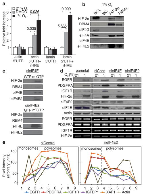 HIF-2α/RBM4 recruits the m 7 -GTP cap via an interaction with eIF4E2 a , Dual luciferase assays in cells transfected with reporter constructs containing the 5′UTR of actin or lamin a/c with or without a 3′ rHRE. Significance of fold change (Student's t test) is shown. Columns, mean (n = 3); error bars, s.e.m. b , Co-immunoprecipitation of HIF-2α and RBM4 in hypoxia. WCL, whole cell lysate. c , Capture assays using m 7 -GTP beads in hypoxic cell lysates depleted in eIF4E or eIF4E2. GTP, proteins dislodged from the beads by GTP. m 7 -GTP, proteins bound to m 7 -GTP beads after GTP wash. d , Western blot of total EGFR, PDGFRA, IGF1R, HIF-2α, eIF4E and eIF4E2 levels in eIF4E or eIF4E2 knockdown cells. e , Polysomal distribution of HIF-2α/RBM4 mRNA targets in hypoxic eIF4E2 knockdown cells. Experiments performed in U87MG glioblastoma.