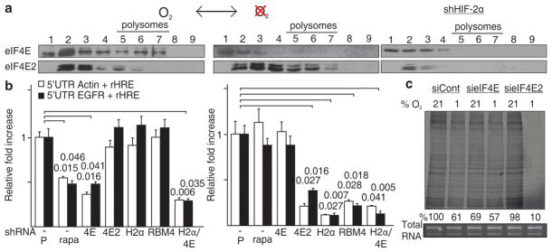 An oxygen-regulated switch from eIF4E- to eIF4E2-dependent protein synthesis a , eIF4E and eIF4E2 polysome association in normoxia and hypoxia. b , Dual luciferase assays in normoxic (left) and hypoxic (right) cells transfected with constructs containing actin or EGFR 5′UTRs and EGFR rHREs. Assays were performed on cells treated with rapamycin, an inhibitor of mTOR and eIF4E, and in knockdown cells of eIF4E, eIF4E2, HIF-2α or RBM4 and in a co-eIF4E/HIF-2α knockdown. Significance of fold change (Student's t test) is shown. P, parental; rapa, rapamycin. Columns, mean (n = 3); error bars, s.e.m. c , Global translation rates in normoxic or hypoxic eIF4E or eIF4E2 knockdown cells. Experiments performed in U87MG glioblastoma.