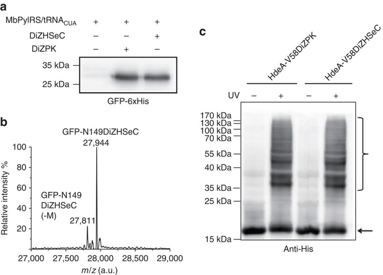 Site-specific incorporation of DiZHSeC into proteins in E. coli . ( a ) Immunoblotting analysis shows similar amber suppression efficiency of the DiZPK-recognizing PylRS mutant for DiZPK and DiZHSeC when they are inserted to N149 position of <t>GFP</t> (GFP-N149TAG). (The representative result from three replicates are shown). ( b ) The molecular weight of GFP-N149DiZHSeC is measured by <t>ESI-MS</t> as 27944 Da (calculated 27941 Da). (The representative result from two replicates is shown). ( c ) DiZHSeC and DiZPK show similar photocrosslinking efficiency on the model protein HdeA. E. coli cells expressing the periplasm-residing HdeA-V58DiZPK or HdeA-V58DiZHSeC protein (carrying a C-terminal His tag) were incubated at pH 2.3 for 30 min followed by ultraviolet irradiation at 365 nm. Cell extracts are separated by the SDS–PAGE gel and analysed by anti-His immunoblotting. The HdeA monomer is marked with a black arrow and the crosslinked complexes are marked with a black brace. (The representative result from three replicates is shown).