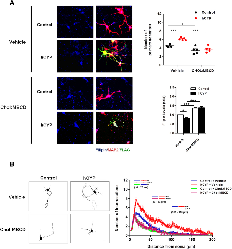 Cholesterol reduction is necessary for CYP46A1 induced dendritic outgrowth. ( A,B ) Primary cultures of rat cortical 4DIV neurons were transfected with Control or hCYP vector and maintained for 48 hours. 24 hours after transfection cells were incubated with 10 μM cholesterol (Chol:MBCD). Neurons were stained with filipin III (free cholesterol staining) and immunostained for MAP2 and FLAG. Scale bar: 20 μm. Statistical analysis was performed by two-way ANOVA followed by Tukey post-hoc test (* p