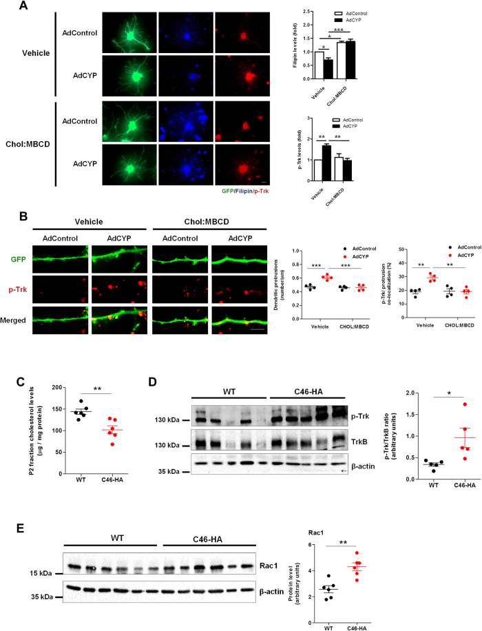 Cholesterol reduction is a necessary trigger for the CYP46A1-dependent increase in dendritic protrusion density and p-Trk levels. ( A,B ) Primary cultures of rat cortical neurons 19 DIV were transduced with AdControl or AdCYP adenovirus and maintained for 48 hours. 24 hours after transduction cells were incubated with 10 μM Chol:MBCD. Neurons were stained with filipin III (blue) and immunstained with p-Trk (red). Statistical analysis was performed by two-way ANOVA followed by Tukey post-hoc test (* p