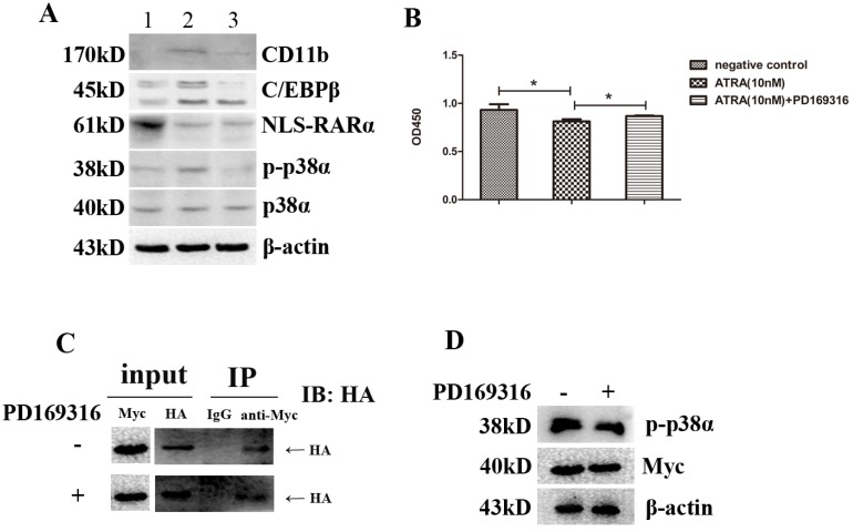 Recruitment p38α-combinded NLS-RARα by ATRA eventually caused activation of p38α protein. ( A ) Western blot analysis of the expressions of p38α, p-p38α, NLS-RARα, C/EBPβ and CD11b proteins in cultured NLS-RARα-overexpressed NB4 cells after dealing cells with various treatments for 3 days. ( B ) The proliferation of NLS-RARα-overexpressed NB4 cells in different groups was determined with CCK-8 Kit. ( C ) NLS-RARα(HA-tagged) was co-immunoprecipitated by anti-Myc in different groups. ( D ) The expressions of p38α protein(Myc-tagged) and p-p38α protein in different groups. All data are presented as mean±SD. * p