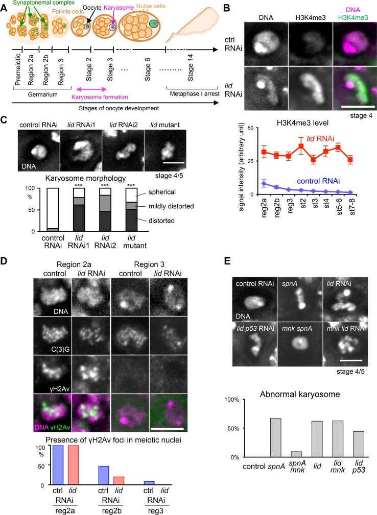 Loss of Kdm5/Lid results in high H3K4me3 and abnormal karyosomes independently from the meiotic recombination checkpoint. (A) Schematic representation of Drosophila oogenesis. A germline stem cell produces a cystoblast which undergoes four rounds of pre-meiotic mitosis to form a cyst consisting of 16 cells. In region 2a, up to four cells in a cyst initiate meiosis and form the SC. In region 2b, two cells (pro-oocytes) maintain the meiotic state. By region 3, one of these cells is finally selected as the oocyte, and all other cells have become nurse cells. Karyosome forms at stage 2–3 of oogenesis. At stage 3 and later, the SC gradually disassembles from chromosome arms, except in centromeric regions. At stage 14, the oocyte completes maturation and arrests in meiotic metaphase I. (B) The spatial distribution and quantified level of H3K4me3 in control and Kdm5/lid RNAi oocytes. The total H3K4me3 signal intensity was significantly higher in Kdm5/lid RNAi oocytes at all stages (p