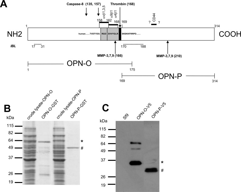 Types of OPN antigens and their characterization. A) Map of human OPN protein showing the various fragments (OPN-O, OPN-P) produced as GST fusion proteins in bacteria and as V5-tagged fusion proteins in insect cells. Numericals denote amino-acid numbering of protein. Shown are the cleavage sites of caspase-8 and various metalloproteinases (MMP-3, -7, -9), the integrin binding sites (αvβ1, αvβ3, αvβ5, α9β1 and α4β1) and the CD44-binding site. Binding sites of the pair of antibodies used in the OPN detection kit marketed by IBL, Gunma, Japan, are indicated by dashed lines. The sequence surrounding the thrombin-sensitive site is also shown. B) Demonstration of the purity of the bacterially-derived recombinant fusion proteins (OPN-O-GST and OPN-P-GST) isolated by affinity chromatography, separated on 12.5% SDS-PAGE gel and stained by Coomassie Blue. The starting material (crude lysate), the OPN-O-GST antigen (*), the OPN-P-GST antigen (#), and mol. wt. markers, are shown. C) WB results identifying the fusion proteins (OPN-O-V5 [*], OPN-P-V5 [#]) derived from insect cells. Cell lysates were separated on 12.5% SDS-PAGE gel and probed with anti-V5 antibody. Lysate of un-infected insect cells (Sf9) included as negative control.