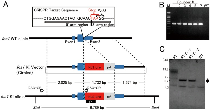 Strategy of bicistronic cre expression in pancreatic beta cells. A: To integrate the 2A-cre sequence just before the stop codon of Ins1 , the 23-nt sequence (5′-CTGGAGAACTACTGCAACTAAGG-3′) containing both PAM and stop codon was chosen as the CRISPR target. The 3′-end of the region of 5′-homology arm (2.0 kb) is the final coding sequence of Ins1 . The 5′-end of the region of 3′-homology arm is the stop codon of Ins1 . The arrows labeled I2AC-GF and I2AC-GR indicate the primers for detecting the knock-in allele. The black box including the white letter P indicates the probe used for Southern blotting. B: PCR products, amplified with the founder genome DNA as the template and the primers I2AC-GF and I2AC-GR, of the appropriate size (2,631 bp) were detected. M: Marker 6 (Nippongene). C: Southern blotting analysis with founder #5 and its offspring (#5-F 1 -1 and #5-F 1 -2). In #5, the knock-in band (arrow) and longer random integration band were detected. In contrast, the KI band and no random integration band were detected in offspring. Lower weight nonspecific bands were detected in all samples.